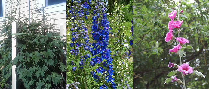 How to stake tall perennials with velcro brand an easy way to stake perennials mightylinksfo