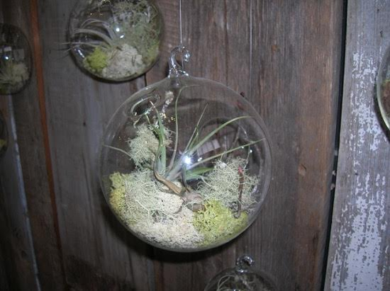 Nardozzi Indoor Air Plants