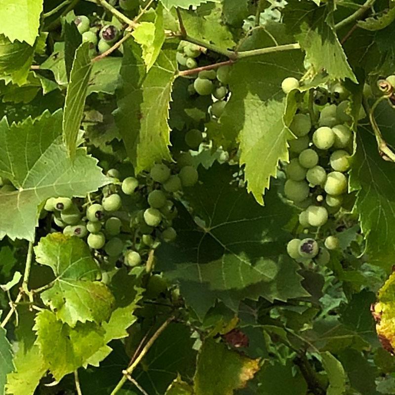 Grape_Plant